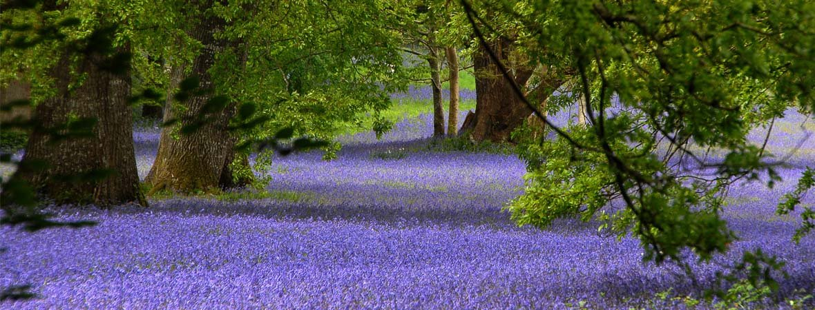 View of the Ancient Bluebells in Enys Gardens