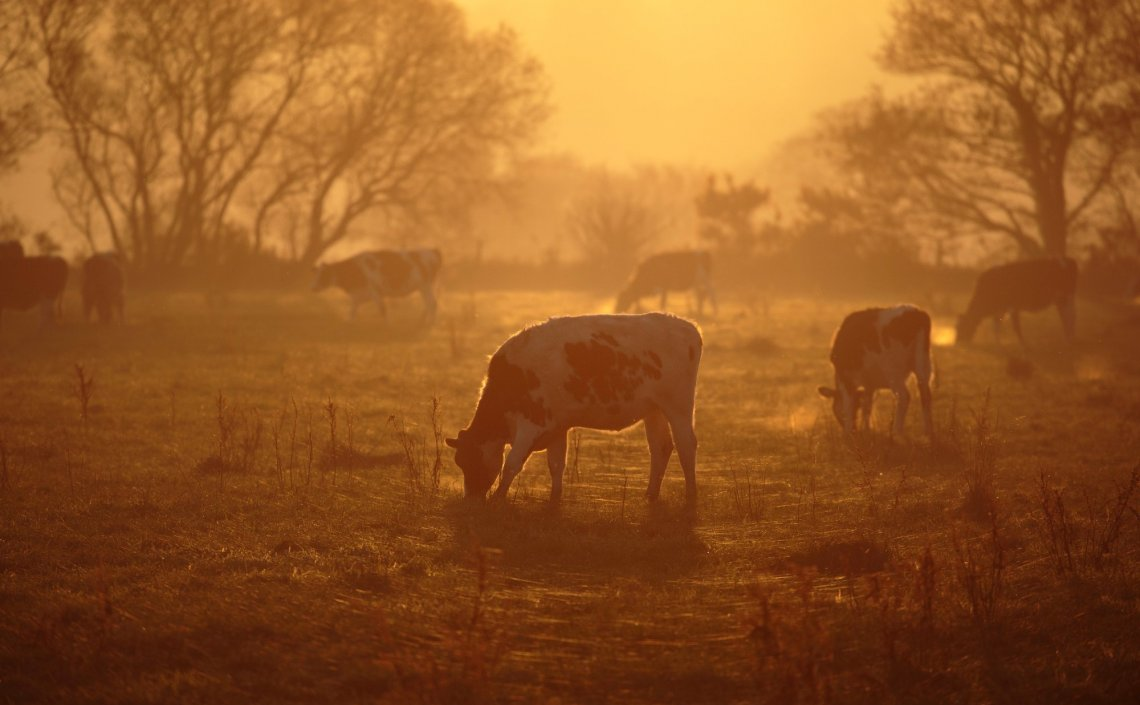 Blackdown Hills AONB - Cows at Sunset.jpg