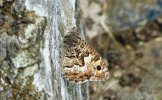 Grayling Butterfly back from the brink