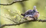 Turtle Dove Conservation