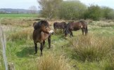 Exmoor pony grazing project