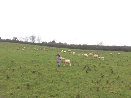 Rotational grazing sheep with Elowen Oates.jpg