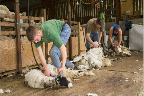 Forest of Bowland AONB - Shearing